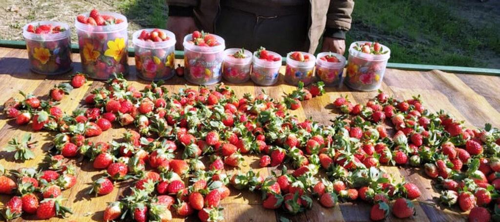 strawberry at Kanchanpur